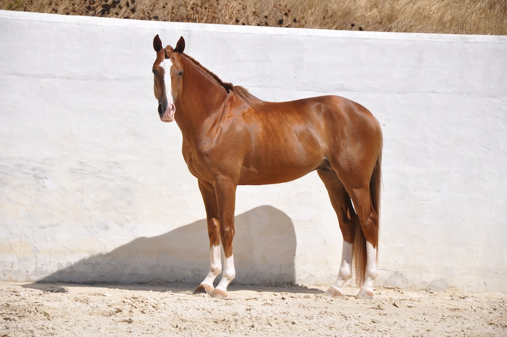 Stunning Chestnut Stallion | Lusitano Horse Finder 506