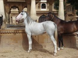 PanoramioPhoto of JaisalmerLusitano horse at the palace 673