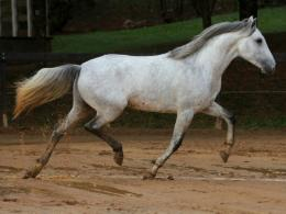 Lusitano trotting wallpaperForWallpaper com 1902