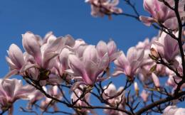 Magnolia Flower Wallpaper Best Collection Free Download 244