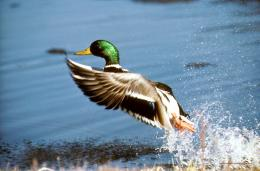 Mallard Take Off Image Duck Nature Pictures Public Domain Images HD 613