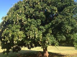 mango tree mango cool image pakistani mango beautiful mango mango 765