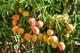 Mango Tree HD WallpaperMango Tree ImagesNew Wallpapers 830