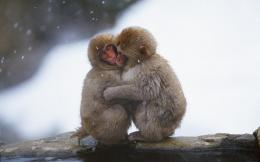 Beautiful Wallpapers: monkey hd wallpapers 1132