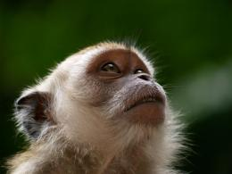 Beautiful Wallpapers: monkey hd wallpapers 401
