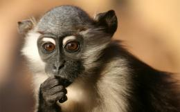 monkey hd wallpapers 1013