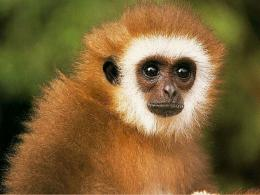 Beautiful Wallpapers: monkey hd wallpapers 124