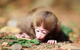 Child Monkey HD Wallpaper WideNew HD Wallpapers 1114