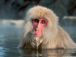 Beautiful Wallpapers: monkey hd wallpapers 1049