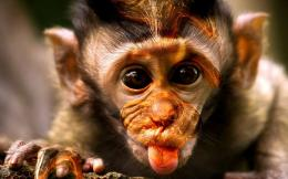 Funny Monkey Wallpaper | Funny Monkey Pictures | Cool Wallpapers 1278