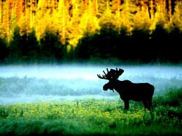 Moose standing along misty riverbank forest:High Contrast 286