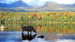 moose wallpaper tags lake denali national park alaska canadian moose 1718
