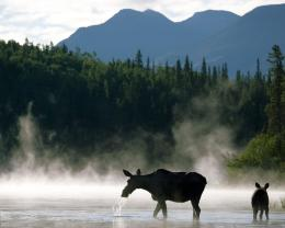 Moose HD Wallpapers 122