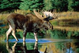 Moose wallpaper high resolution 1636