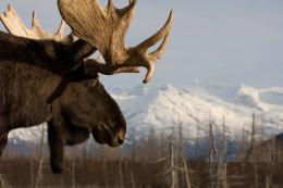 Moose HD Wallpapers 469