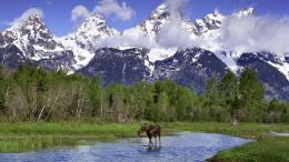 Download wallpaper Moose in the River, Grand Teton, Wyoming: 1295