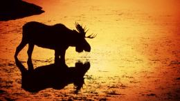 Moose HD Wallpapers | Moose Desktop Pictures | Cool Wallpapers 721