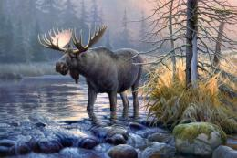 Moose HD Wallpapers | Moose Desktop Pictures | Cool Wallpapers 1595