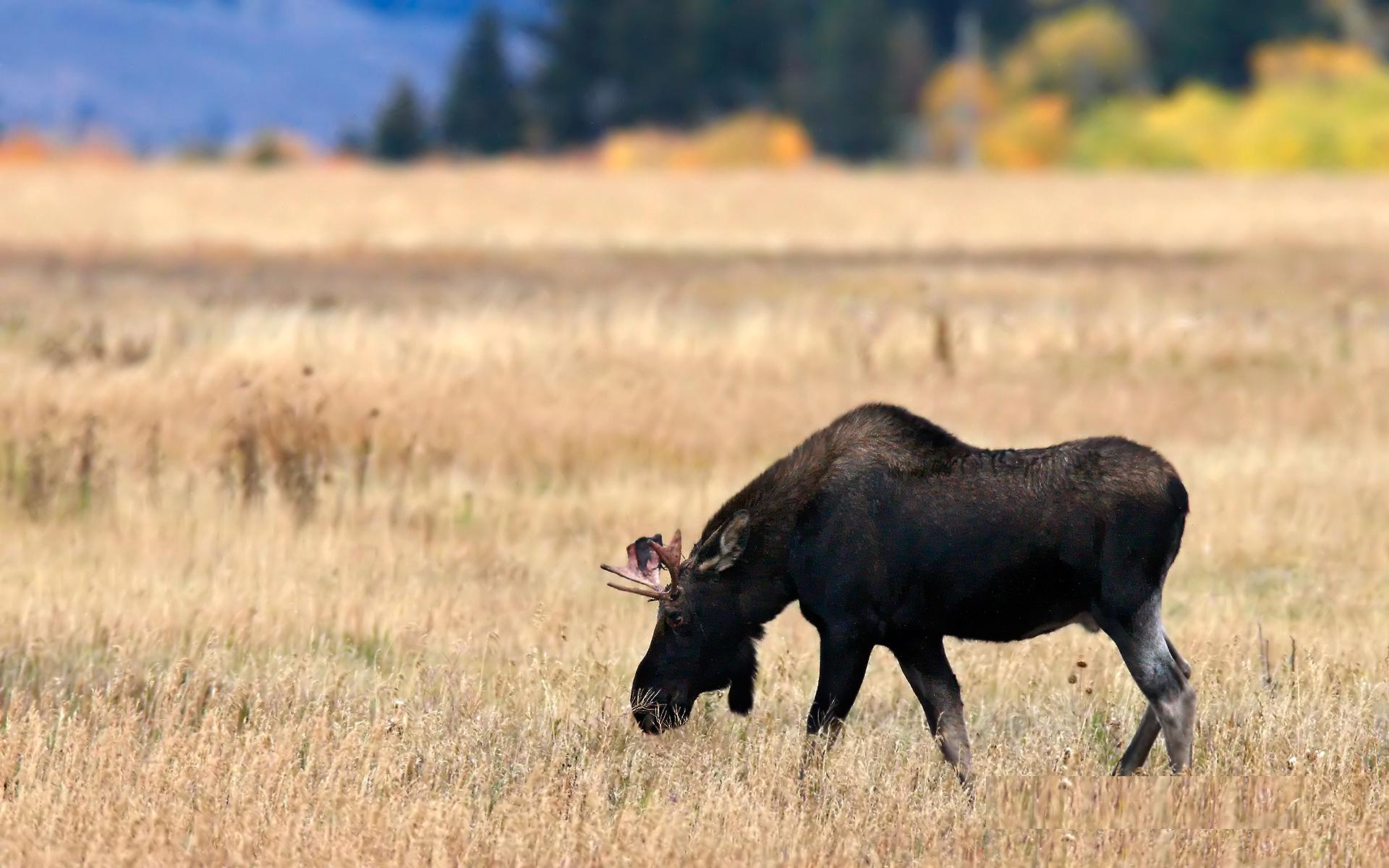 Moose HD Wallpapers | Moose Desktop Pictures | Cool Wallpapers 554