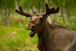 Moose HD Wallpapers | Moose Desktop Pictures | Cool Wallpapers 875