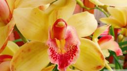 Orchid Flower wallpaper 1987