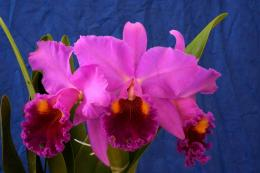 Orchid Flowers Wallpapers 1185