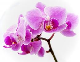 Flower wallpapers Purple Orchid Flowers wallpaper 1813