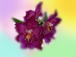 Orchid flowers wallpapers 233