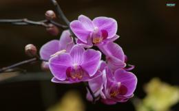 Purple orchids wallpaper 1920x1200 1319