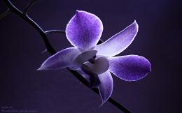 : Nature Wallpaper , Orchi Flower Wallpaper , Orchid , Orchid Flower 717