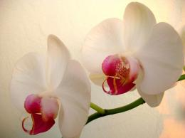 White Orchid Lovely Flower HD wallpapersWhite Orchid Lovely Flower 1379