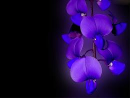 Orchid Flower Wallpaper HD wallpapersBlue Orchid Flower Wallpaper 1116