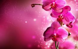 Pink Orchid Flower HD wallpapersBeutifull Pink Orchid Flower 1828