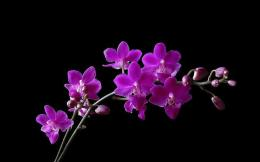 Purple Orchid Flower Widescreen Wallpaper HD Picture 416