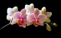 Orchid Flower 529