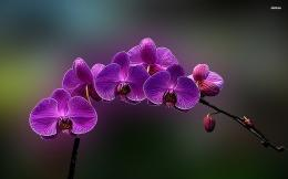 Flowers Orchid 1479