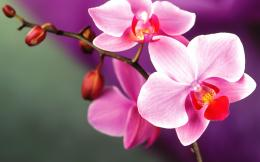 Orchid Flower Wallpaper 1853