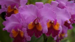 Orchids wallpaper 1920x1080 235