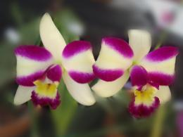 Orchid flowers wallpapers 1992