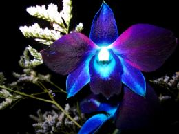 Exotic Blue Orchid FlowerHD Wallpaper 1391