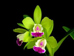 Attractive Green orchid Flowers wallpaper 550