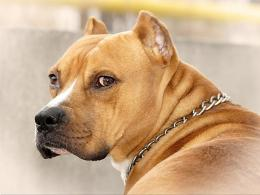 american pitbull terrier black dog american pitbull terrier white dog 1503