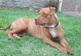 pitbull dog top desktop new wallpapers free wide images of pitbull dog 1238