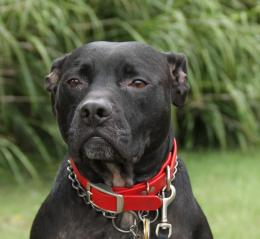 Pitbull Dog New Wallpapers | Pitbull Dog Pictures | Cool Wallpapers 646