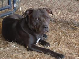 american pitbull terrier black dog american pitbull terrier white dog 1660