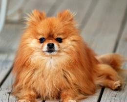 Pomeranian Wallpapers, Pictures & Breed Information 215