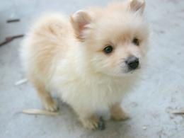 cute pomeranian dog wallpaper jpg#POMERANIAN%201400x1050 1258