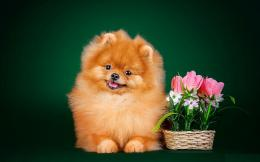 Pomeranian Dog Wallpaper | Pomeranian Dog Photos | Cool Wallpapers 389