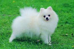 Pomeranian Dog Wallpaper | Pomeranian Dog Photos | Cool Wallpapers 702