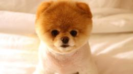 Pomeranian puppy wallpaper #9950 1178